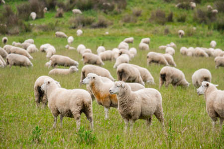 Flock of sheeps grazing in green farm in New Zealand Banco de Imagens - 101602395