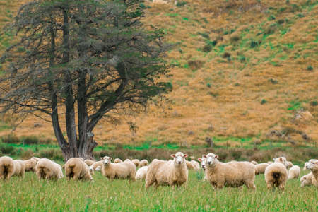 Flock of sheeps grazing in green farm in New Zealand, Green color tone effected.