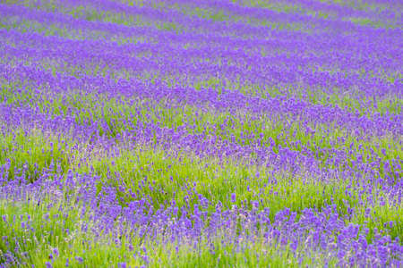 Depth of field shot of beatiful lavender in the farm, New Zealand