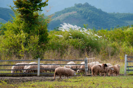 Brown sheeps walking to farm gate at farmland in the mountain. Archivio Fotografico