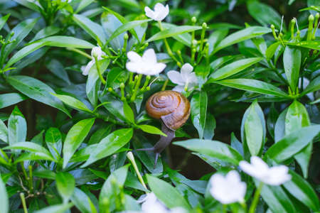 Depth of field shot, Animal snail with brown shell climbing and looking for food to eat on flower's leafs in the nature.