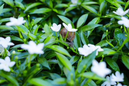 Depth of field shot, Animal snail with brown shell climbing and looking for food to eat on flowers leafs in the nature.