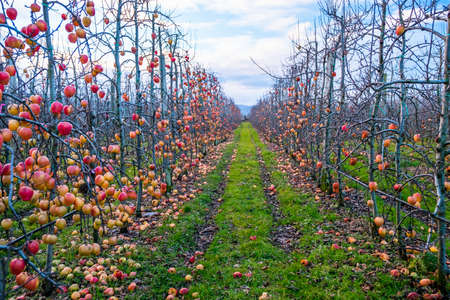 Apple orchard in autumn, winter season. Reklamní fotografie