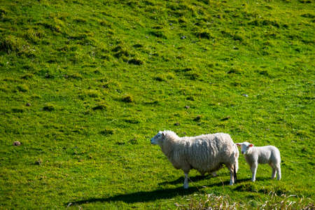 A sheep grazing on the green farm. Fresh sunny with a warm light day. Archivio Fotografico