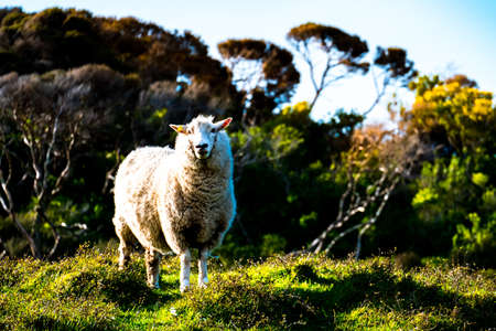 sheep grazing on the green farm. Fresh sunny with a warm light day. A sheep staring at the photographer. Archivio Fotografico