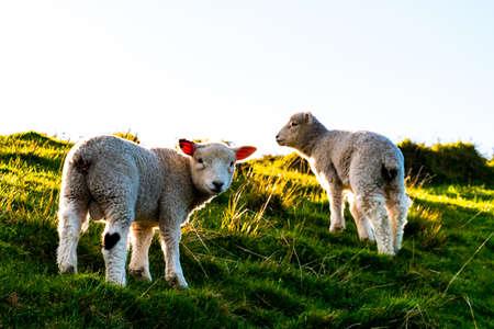 ovejas pastando en la granja verde. Fresco y soleado con un día de luz cálida. Foto de archivo