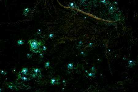 Beautiful New Zealand Glow worm in the cave. Long. exposure and high ISO photography.