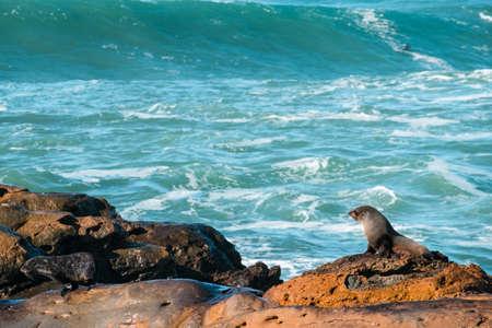 Sea Lions, Seal Colony, Coastline, South Island, New Zealand.