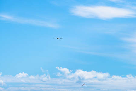 Australian Gannet bird flying over the blue sky. 版權商用圖片