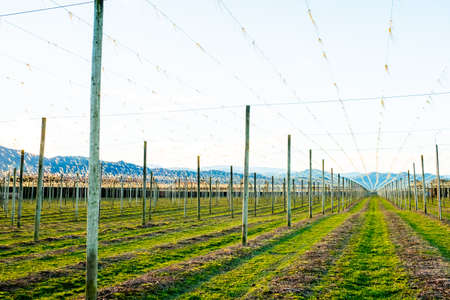 A landscape of hops farm at sunset. Motueka, New Zealand.
