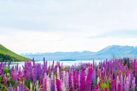 Hermoso paisaje de flores de altramuces y montañas alpinas alrededor del área del lago Tekapo, Nueva Zelanda.