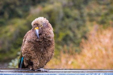 Kea bird, New Zealand Alpine parrot. 版權商用圖片