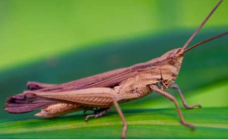 A brown grasshopper, Depth of field shot focused on the eye, Macro Photograph.