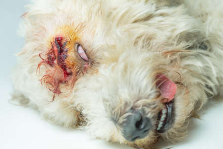 A sleeping sick poodle dog after he got an Anesthesia and suture a wound.