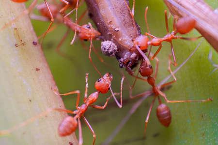 Czerwone mrówki ogniste pomagają sobie nawzajem w przenoszeniu kawałka posiłku. Koncepcja pracy zespołowej. Głębia ostrości Fotografia makro. Zdjęcie Seryjne