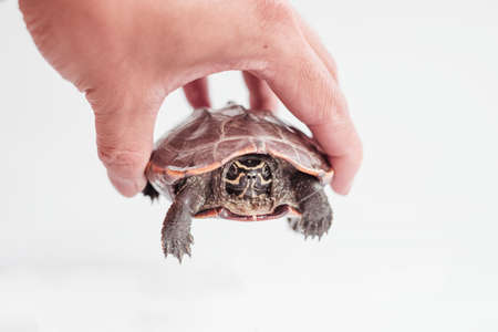 A hand holding a tiny turtle isolated on white background.