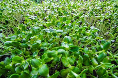 plantlet: Sunflower seedlings