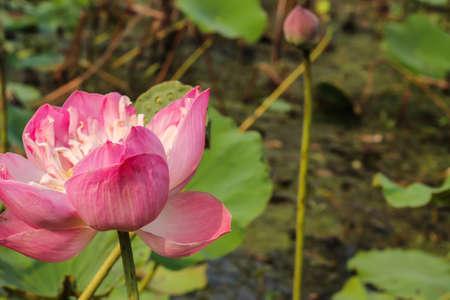 nelumbo nucifera: lotus