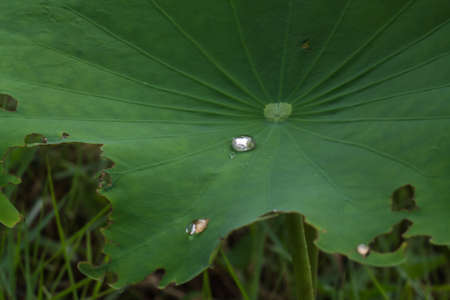 effloresce: Drops of water on a lotus leaf