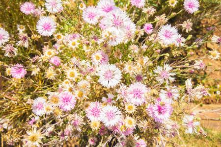 garden cornflowers: Cornflowers flowers in the garden