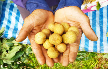 growers: Longan growers in hand Stock Photo