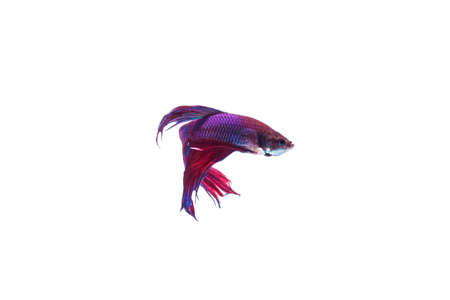 blackness: SIAMESE FIGHTING FISH, with blackness. Isolated white background