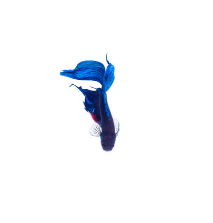 blue fish: SIAMESE FIGHTING FISH blue, with blackness. Isolated white background