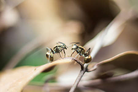 leaf cutter ant: Two abstract blur ants