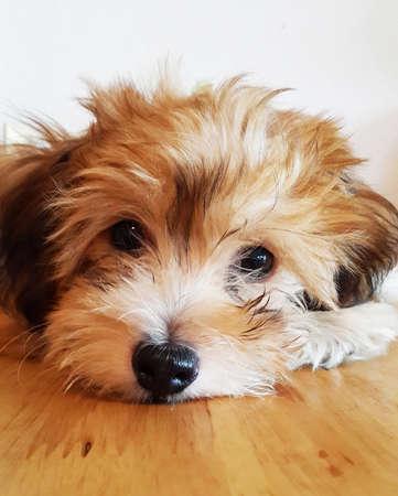 Dog breed Shih Tzu looking at the camera.