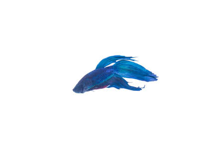 siamese fighting fish: SIAMESE FIGHTING FISH, with . Isolated white background Stock Photo