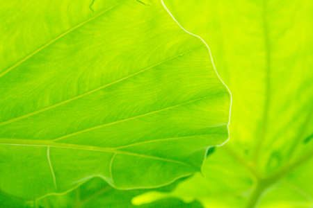 Cocoyam leaf green background texture. Stock Photo