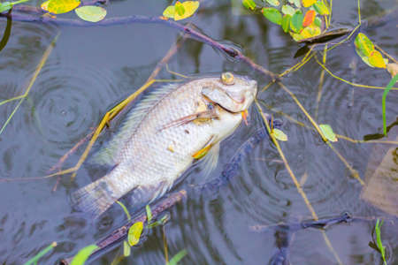 freshwater fish: Dead fish floating on the water