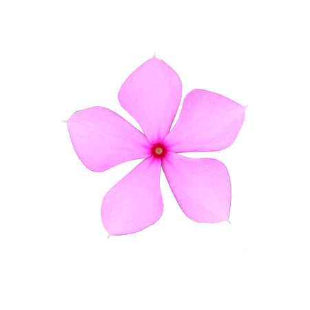 Pink Catharanthus roseus  in Madaba are native to Central America isolated white background. Stock Photo