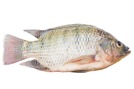 Oreochromis niloticus isolated or mossambicus fish isolated white background.