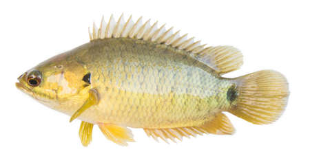 Climbing perch or Climbing gourami,Gold Fish,Isolated white background  版權商用圖片