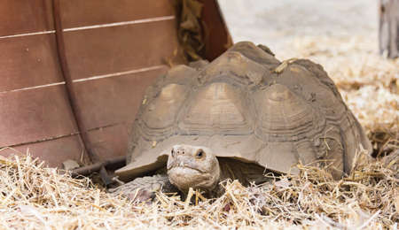 turtles are crawling slowly on the dry grass in the zoo.