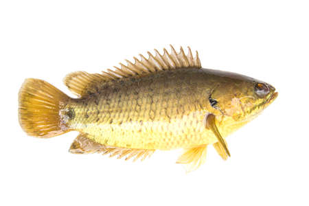 Climbing perch or Climbing gourami,Gold Fish,Isolated white background