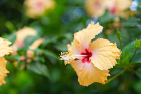 Hibiscus rosa-sinensis with pastel yellow and beautiful pollen The flowers have five petals Sacred trees are popularly grown in homes for good fortune,  blooming beautifully in nature. 版權商用圖片