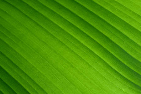 The green of banana leaves beautiful lines pattern texture natural background.