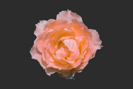 Beautiful coral of rose  blooming isolated on black background