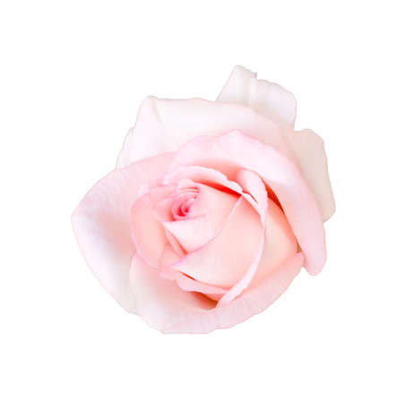 Pastel pink of beautiful rose flower isolated on white background Imagens
