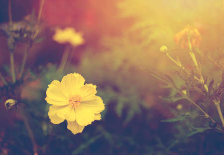 Soft focus blur,  beautiful yellow cosmos with sun light nature background
