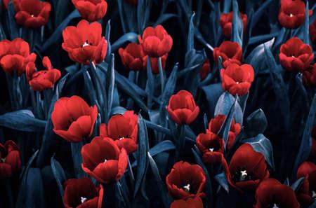 Fond de fleurs de tulipes, belle flore de rouge vif coloré et bleu Aqua avec goutte d'eau. couleur tendent Amazing Nature paysage. Mise au point douce