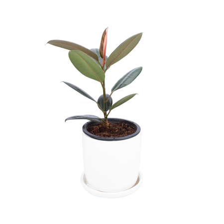Rubber Plant on white pot isolated white background. Air purification trees Potted plants Home interior