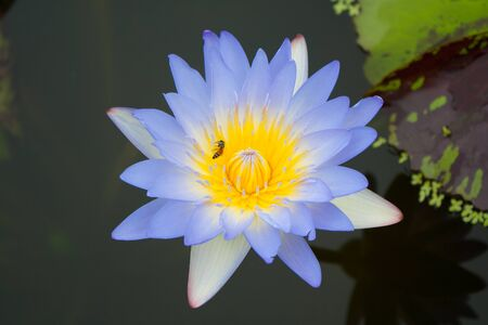 Blue Lotus in Thailand