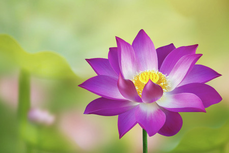 The lotus flower represents one symbol of fortune in buddhism the lotus flower represents one symbol of fortune in buddhism stock photo picture and royalty free image image 31090595 mightylinksfo