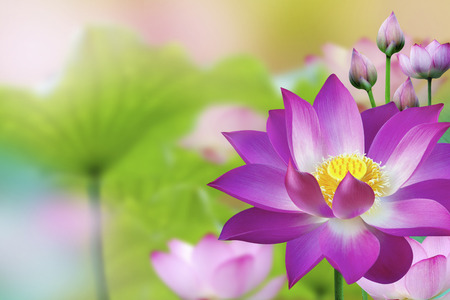 The lotus flower represents one symbol of fortune in buddhism stock photo the lotus flower represents one symbol of fortune in buddhism it grows in muddy water mightylinksfo