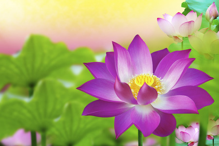 The lotus flower represents one symbol of fortune in buddhism the lotus flower represents one symbol of fortune in buddhism stock photo picture and royalty free image image 31090597 mightylinksfo