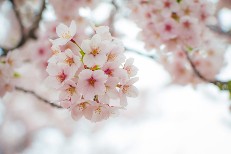 Close-up of beautiful cherry blossoms, sakura, in spring season of Japan, in a blur background