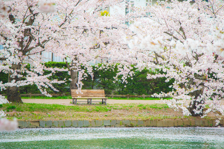 Lonely wood riverside bench surrounded by many beautiful cherry blossoms
